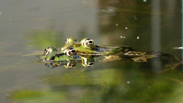 Frogs, Mate, Propagation, Amphibians, Green Frogs, Sex