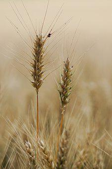 Wheat Field, Wheat, Wheat Cultivation, Agriculture