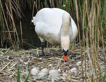 Swan, Eggs, B, Bird, Nature, Nest, White, Wild
