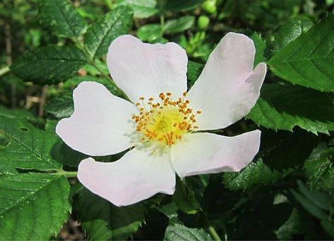 Rose, Dog-rose, Flower, Rosa, White, Wild, Plant