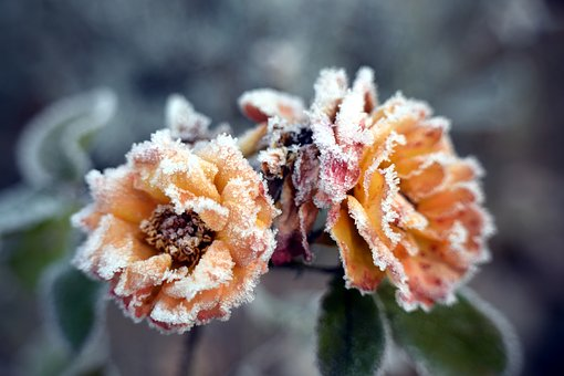 Winter, Frost, Rose, Frozen, Cold, Plant, Ice Flowers