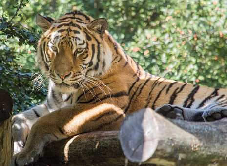 Tiger, Tiergarten, Schönbrunn, Big Cat, Zoo, Predator