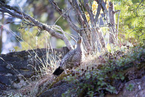 Bird, Grouse, Hunting, Hide Hiding, Camouflage, Wood