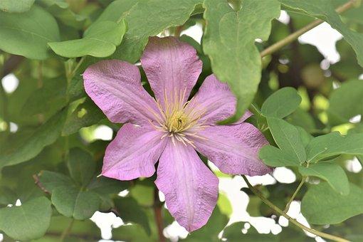 Clematis, Pink, Flower, Blossom, Bloom, Plant, Bloom