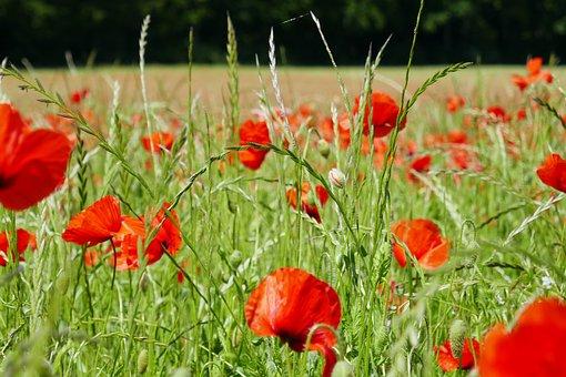 Klatschmohn, Flowers, Red, Poppy, Blossom, Bloom