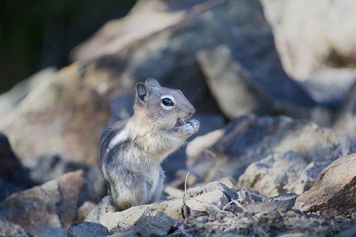 Chipmunk, Squirrel, Mammal, Rodent, Small, Creature