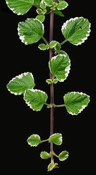Incense Plant, Moth King, Fragrant, Aromatic