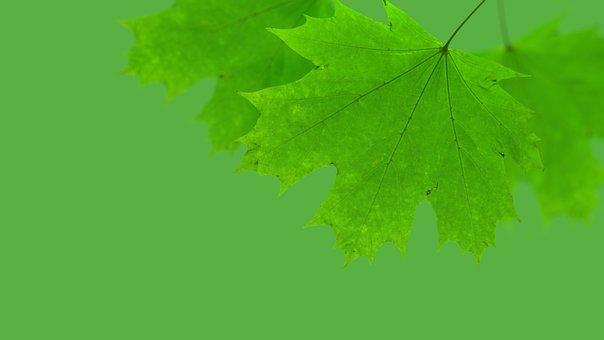 Maple, Leaf, Green, Autumn, Nature, Season, Decoration