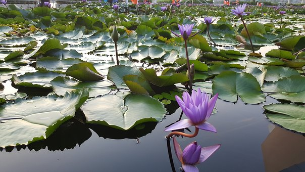 Lotus, Flower, Plant, Nature, Blossom, Bloom, Water