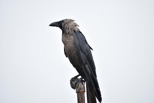 Perching Bird, Crow, Greynecked, House Crow, Corvus