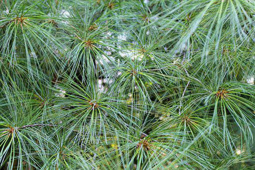 Background And Textures, Needle Pines, Pine, Texture