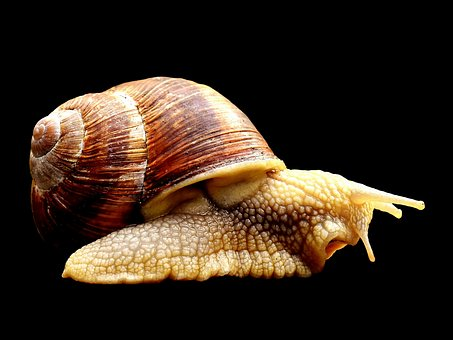 Snail, Animal, Home, Crawl, Shell, Reptile, Slowly