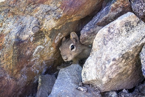 Chipmunk, Squirrel, Mammal, Rodent, Small, Creature