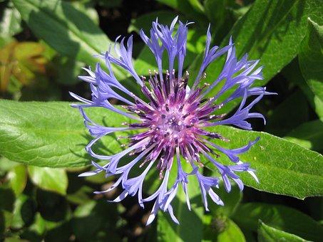 Flower, Cornflower, Summer, Blue