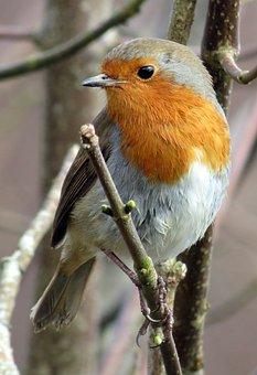 Robin, European Robin, Erithacus Rubecula, Red, Winter