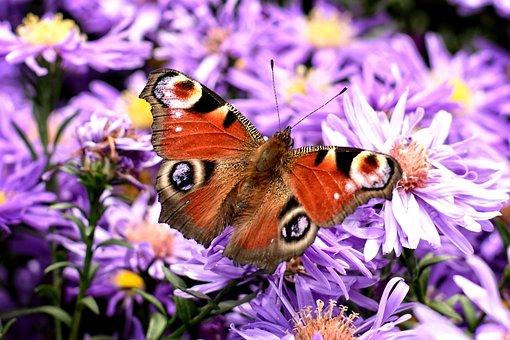 Peacock Butterfly, Aglais Io, Butterfly, Edelfalter