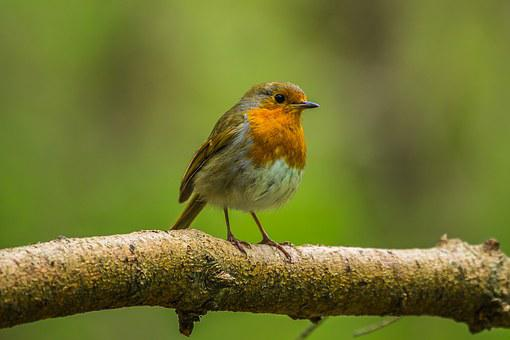 Redbreast, Bird, Nature, Spring, Forest