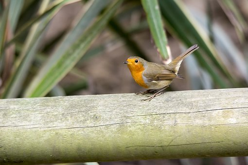 Robin, Bird, Nature, Wildlife, Red, Feather, Redbreast