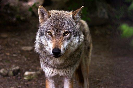Wolf, Predator, Hunter, Canis Lupus, Eyes, View