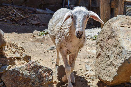 Sheep, Curious, Adorable, Cute, Looking, Animal