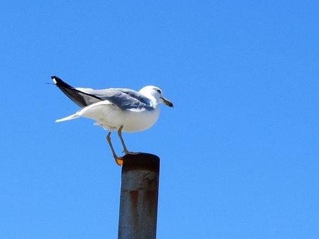 Bird, Seagull, Blue Sky