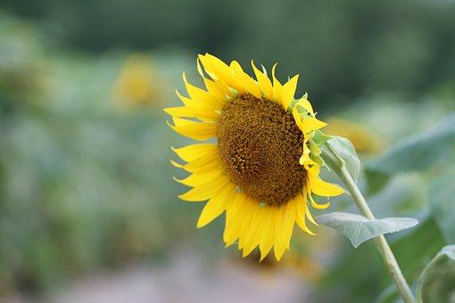 Flowers, Sunflower, Yellow, Plants, Sunflower Flower