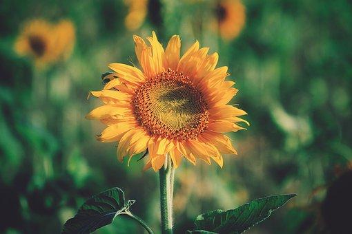 Sunflower, Yellow, Petal, Field, Farm, Garden, Nature