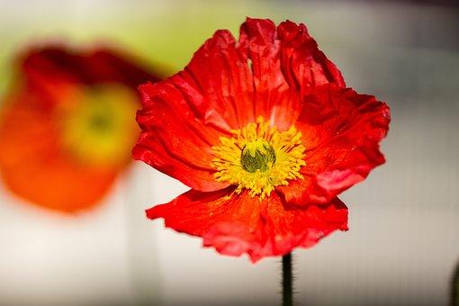 Poppy, Poppies, Wild Flowers, Nature, Blossom, Bloom