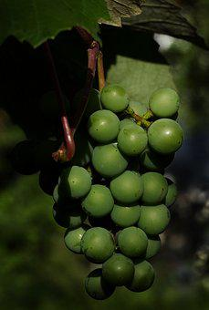 Grapes, Wine Berries, Panicle, Träubel, Vitis Vinifera