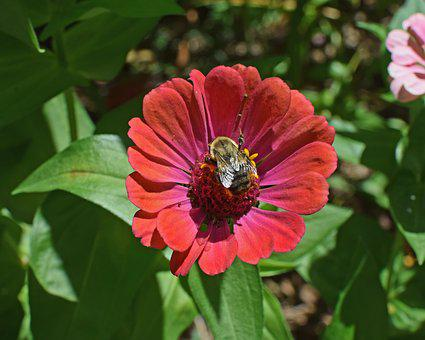 Bumblebee On Zinnia, Butterfly, Insect, Bee, Animal