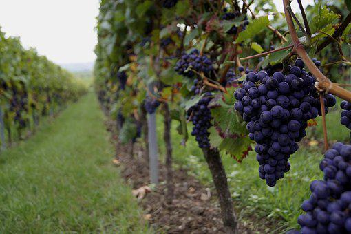 Grapes, Wine, Vine, Grapevine, Red Grapes, Vineyard