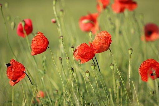 Klatschmohn, Summer Meadow, Poppy, Nature, Meadow