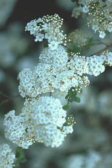 White, Petal, Flowers, Green, Leaf, Plant