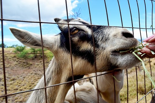 Goat, Hay, Feeding, Animal, Nature, Countryside, Ranch