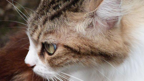 Cat, Animals, V, Animal, Wildcat, Cat Lying, Feline