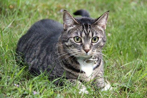 Cat, Pet, Animal, Cute, Domestic, Kitten, Feline, Furry