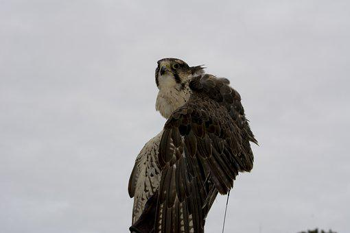 Peregrine, Falcon, Bird Of Prey, Raptor, Bird, Predator