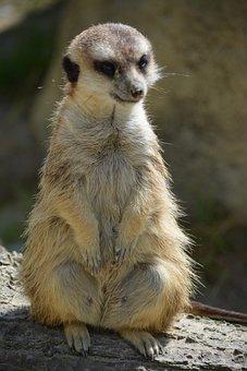 Meerkat, Animal, Guard, Cute, Vigilant, Alarm
