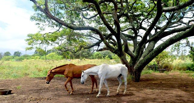 Maui, Hawaii, Horses, Animals, Peaceful, Primitive