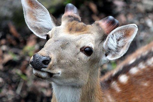 Spotted Deer, Cervus Nippon, The Horn Of Africa, Ovis