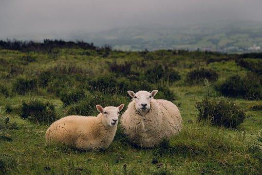 Sheep, Ram, Lamb, Animal, Green, Grass, Field, Outdoor