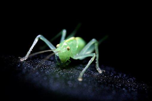 Insect, Green, Cricket, Small, Macro, Close