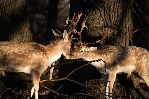 Deer, Animal, Horn, Wildlife, Forest, Woods, Trees