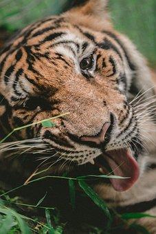 Tiger, Animal, Wildlife, Nature, Bamboo