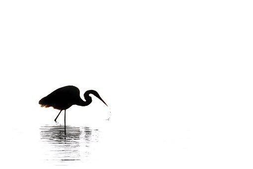 Egret, Silhouette, Black White, Bird, Nature