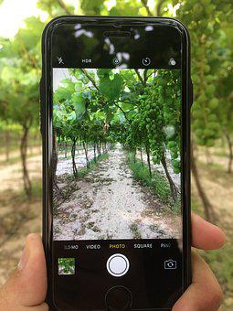 Grape, Iphone Camera, Farm, Farms, Green