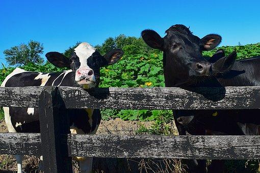 Cows, Fence, Looking, Farm, Holstein, Rural, Animal