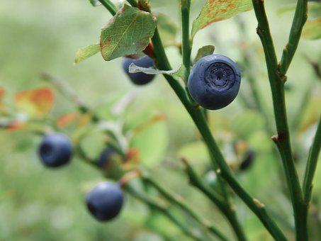 Blueberry, Nature, Food, Snacks, Plant, Berry, Greens