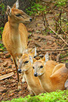 Spotted Deer, Wildlife, Jungal, Nature, Wild, Spotted