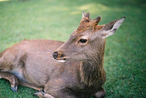 Green, Grass, Lawn, Field, Animal, Wildlife, Deer